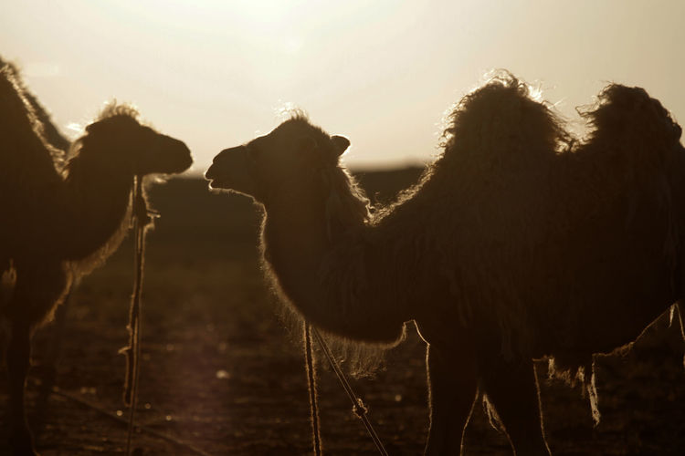 Camels Against Sky During Sunset