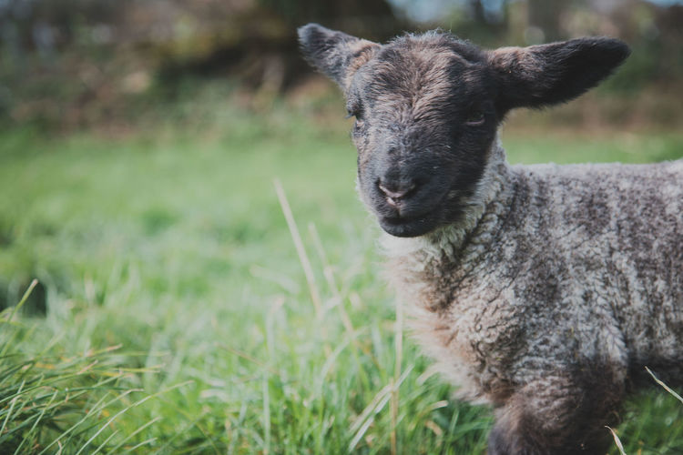 Animal Themes Animal One Animal Mammal Grass Vertebrate Domestic Animals Field Plant Land Animal Wildlife Animals In The Wild Pets Domestic Portrait Day Sheep Livestock Focus On Foreground Nature No People Lamb Outdoors Herbivorous