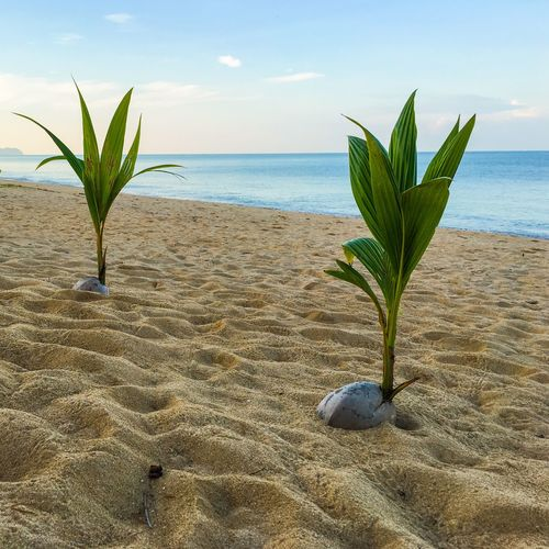 Coco Palm Seed at Beach Sea Beach Water Land Sky Horizon Over Water Beauty In Nature Sand Plant Scenics - Nature Tranquility Tranquil Scene Growth No People Outdoors Day