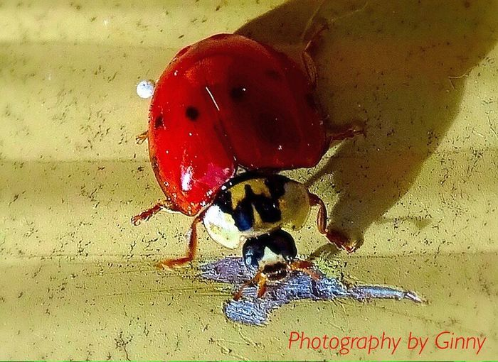Ladybug Red Black Dots No People One Animal Day Outdoors