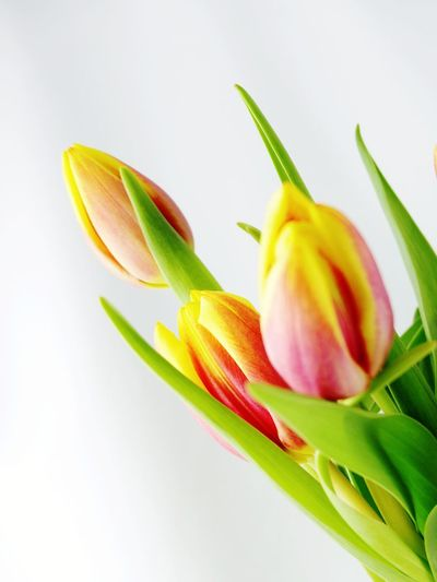 Flower Leaf Nature Plant Petal Fragility Freshness Beauty In Nature Flower Head Multi Colored Close-up Blossom Tulip Soft Focus Green Color No People Defocused Springtime Growth White Background Yellow Flower Yellow Color Yellow Nature