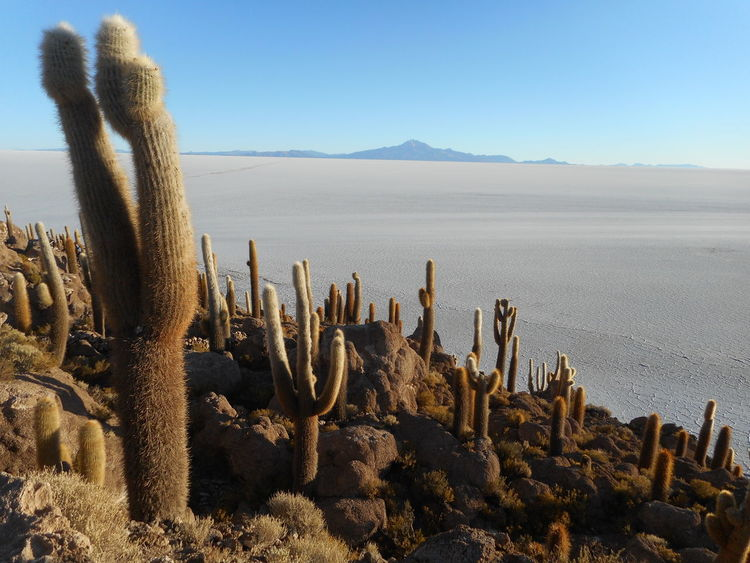 Arid Climate Beauty In Nature Blue Cactus Clear Sky Day Desert Growth Landscape Nature No People Outdoors Plant Salt Flat Sand Scenics Sky Succulent Plant Surreal Landscapes Tranquil Scene Salar De Uyuni Bolivia