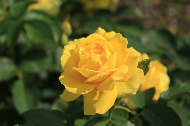 Relaxing Enjoying Life Hello World 黄色のバラ(*^^*)