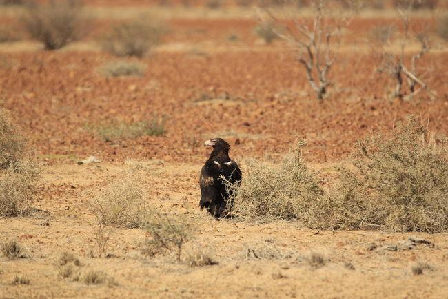 A Wedge Tailed Eagle resting Australia Australian Birds In The Wild Australian Birds Eagle Outback Australian Outback Australian Wildlife Wedge Tailed Eagle