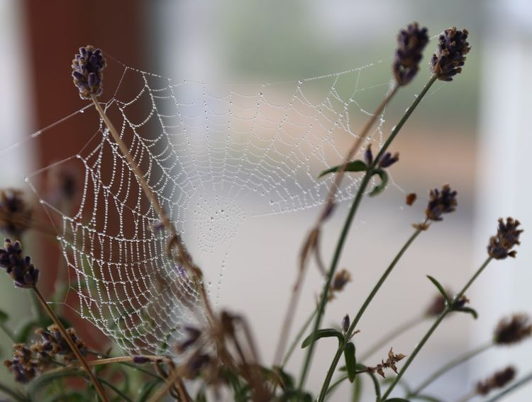 Dewy Spiderweb Animal Themes Animals In The Wild Beauty In Nature Close-up Day Focus On Foreground Fragility Nature No People One Animal Outdoors Spider Spider Web Spiderweb Spiderweb Collection Spiderweb In Morning Dew Spiderweb With Drops Spiderwebs Web