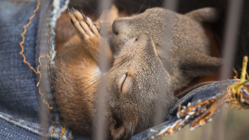 Animal Head  Animal Themes Animals Beauty In Nature Brown Caged Companion Domestic Animals Mouse Nature Non-urban Scene Pets Sleep Sleeping Sleepy Squarrel Togetherness Two Animals Two Is Better Than One Zoology Squirrel Squirrel Closeup