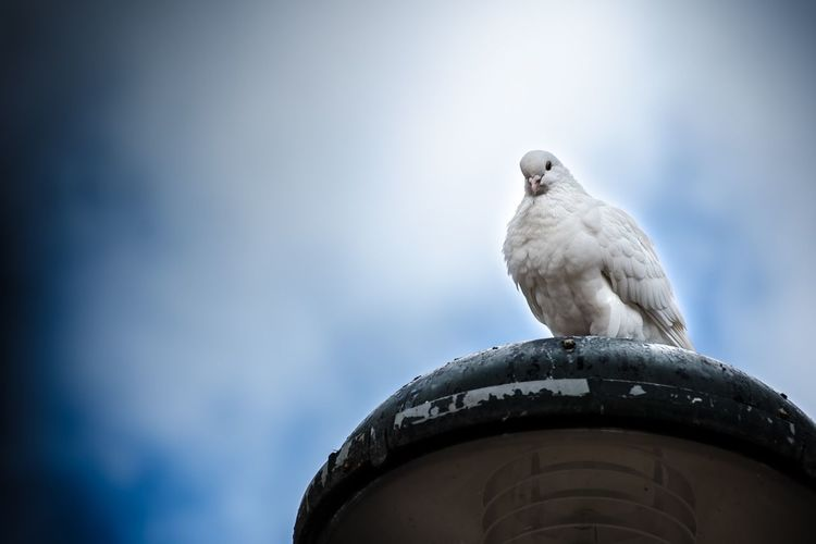 Low angle view of white dove perching on metal against sky