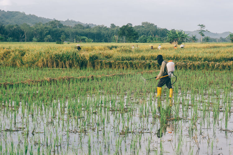 fertilizing paddy field Agriculture Crop  Cultivated Land Farm Farm Worker Farmer Field Growth Landscape Manual Worker Men Nature Occupation Outdoors Plant Plantation Real People Rice - Cereal Plant Rice Paddy Rural Scene Working Paddy Paddy Field The Photojournalist - 2018 EyeEm Awards A New Beginning