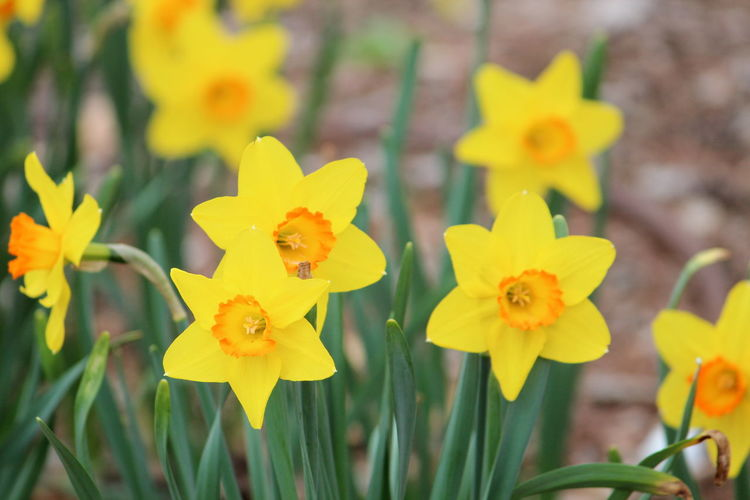 Yellow Flower Flowering Plant Plant Petal Vulnerability  Fragility Beauty In Nature Inflorescence Close-up Flower Head Freshness Growth Focus On Foreground Nature Daffodil No People Day Outdoors Field Spring