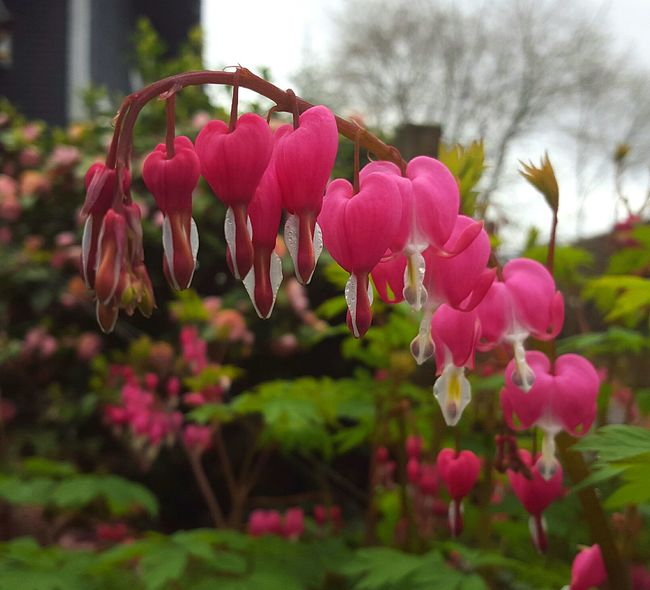 Bleeding hearts Flower Collection Check This Out EyeEm Nature Lover Beautiful Nature Bleeding Hearts Eye4photography  Samsungphotography Spring Flowers Springtime Spring 2016