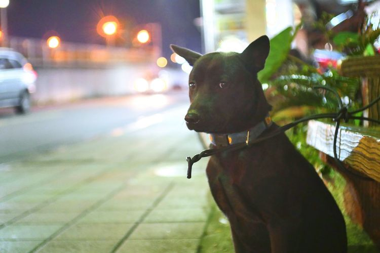 City Pets Dog