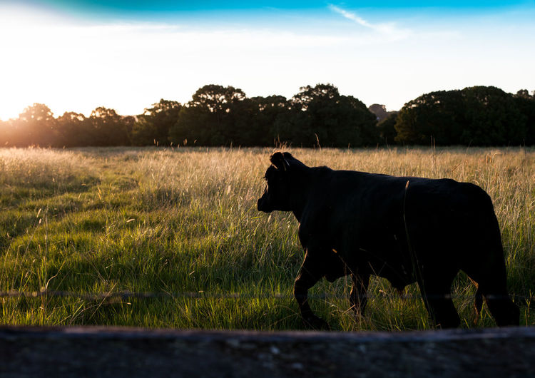 Moo cow. Check This Out Nature Landscape Landscapes Livestock Animals Animal Photography Landscapes With WhiteWall