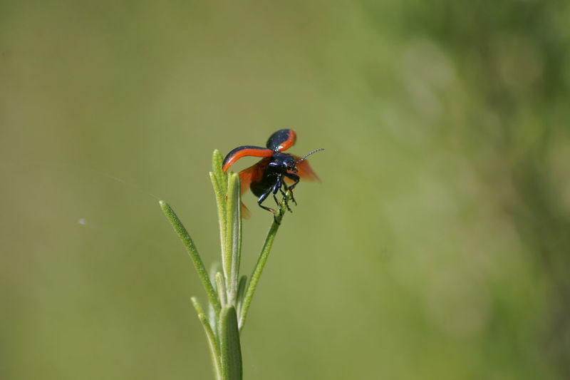 Close-Up Of Ladybug Taking Off From Plant