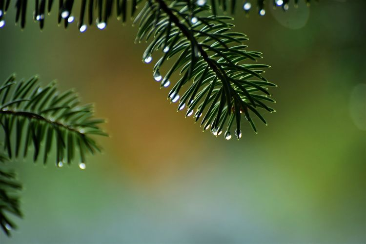 Plant Green Color Tree Beauty In Nature Close-up Focus On Foreground Growth No People Leaf Nature Plant Part Tranquility Water Wet Selective Focus Day Branch Drop Pine Tree Outdoors Needle - Plant Part Rainy Season Leaves Coniferous Tree RainDrop