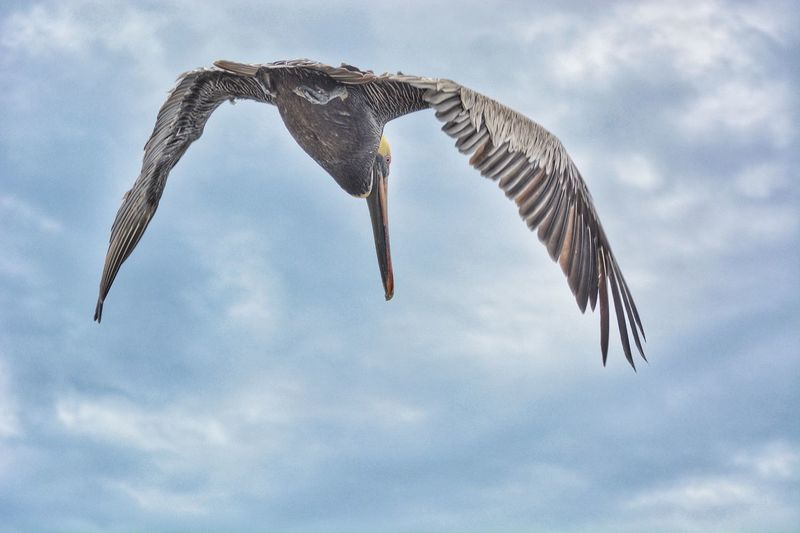 Pelican in flight Wings Diveflight Pelicans Diving Pelicans Catching Food Pelicans In Flight Pelican EyeEm Selects Flying Spread Wings Bird Animal Themes One Animal Cloud - Sky Animals In The Wild Mid-air Sky Animal Wildlife Low Angle View Nature Day Outdoors No People Bird Of Prey Beauty In Nature