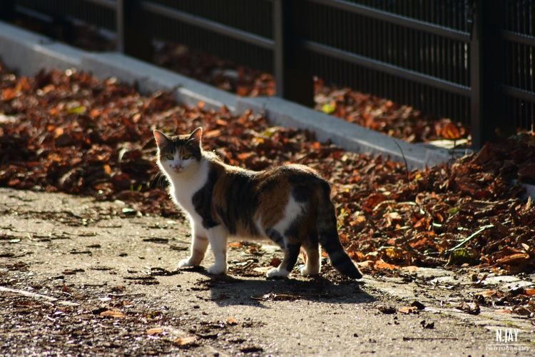 Cat Neighbourhood Kitties Cats Of EyeEm Calico Cat Animal Pet Cute Pets Autumn Autumn Colors Autumn Leaves Fallen Leaves Fall Nature EyeEm Nature Lover EyeEm Masterclass Nature_collection Animal Themes Pets Neighborhood One Animal Cats Cat Lovers Furry Friends Calico Cats Are Special