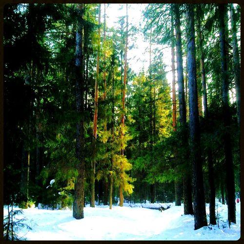 зима Лес солнечный Солнышко