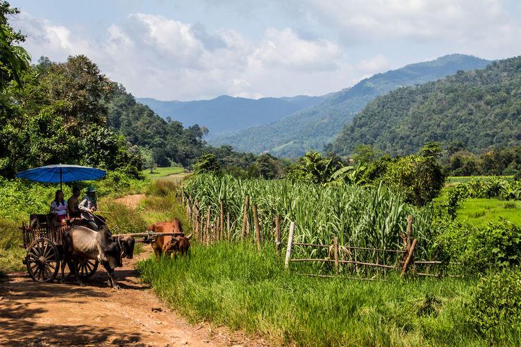 Rural Thailand, ox cart ride Cane Farm Ox Cart Rural Scene Scenery Siam Sugar Thailand Tourism Umbrella