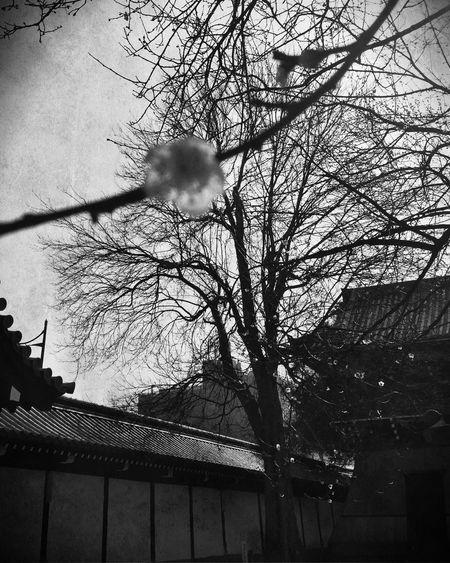 Ume Blossom Japanese Plum Blossom Japanese Plum Blossoms Nishihonganji Kyoto, Japan Kyoto,japan ♫From (Goldmund)