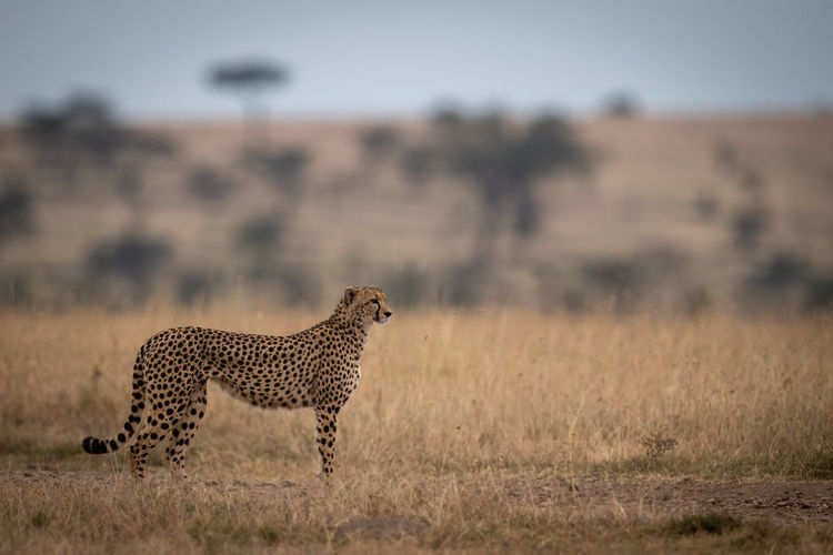 Cheetah stands in long grass looking right Cheetah Acinonyx Jubatus Predator Cat Big Cat Kenya Masai Mara Africa Kicheche Nature Travel Animal Wildlife Feline Animal Wildlife Animal Themes Animals In The Wild Mammal One Animal Spotted Safari Undomesticated Cat Environment Survival No People Plant Vertebrate Outdoors Profile View Semi-arid