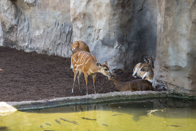 Sitatunga Occidental Sitatunga Animal Themes Animal Wildlife Animal Animals In The Wild Group Of Animals Water Vertebrate Mammal No People Nature Zoo Day Rock Solid Rock - Object Lake Drinking Bird Herbivorous Stripes Pattern