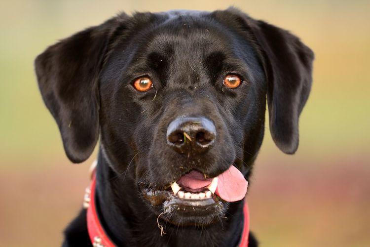 Portrait of black labrador