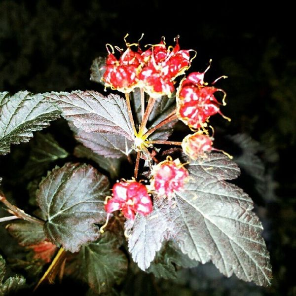 night photography. Night Flowers Nature Groundlevel picoftheday popular photooftheday photographyoftheday favorite memories contrast summerfun leaves green secret fun bright red weheartit