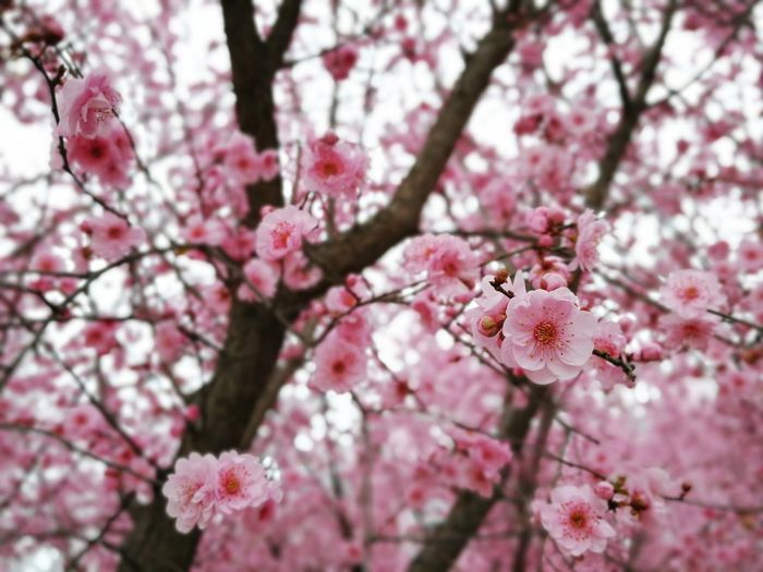 Reruns cerasoides, cherry bloom Flower Pink Color Cherry Blossom Blossom Beauty In Nature Fragility Cherry Tree