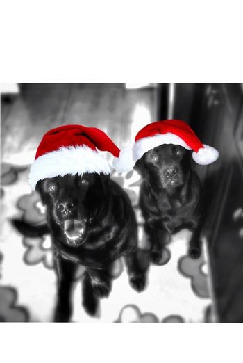 Tadaa Community Colorsplash My Dogs Are Cooler Than Your Kids Christmas Merry Christmas... Be back soon!! ??????