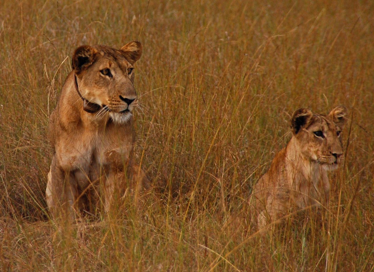 animals in the wild, animal wildlife, lion - feline, lioness, animal, lion cub, animal themes, day, no people, outdoors, grass, safari animals, mammal, nature, portrait, cheetah
