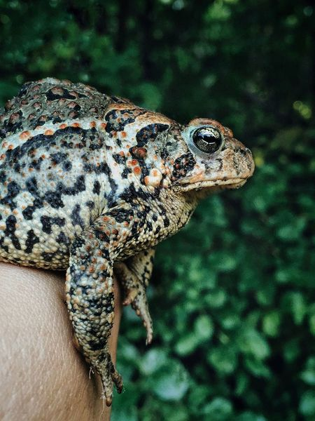 Amphibian Animal Body Part Animal Head  Animal Themes Back Close-up Focus On Foreground Frog Holding Nature Outdoors Portrait Selective Focus Toad Wildlife