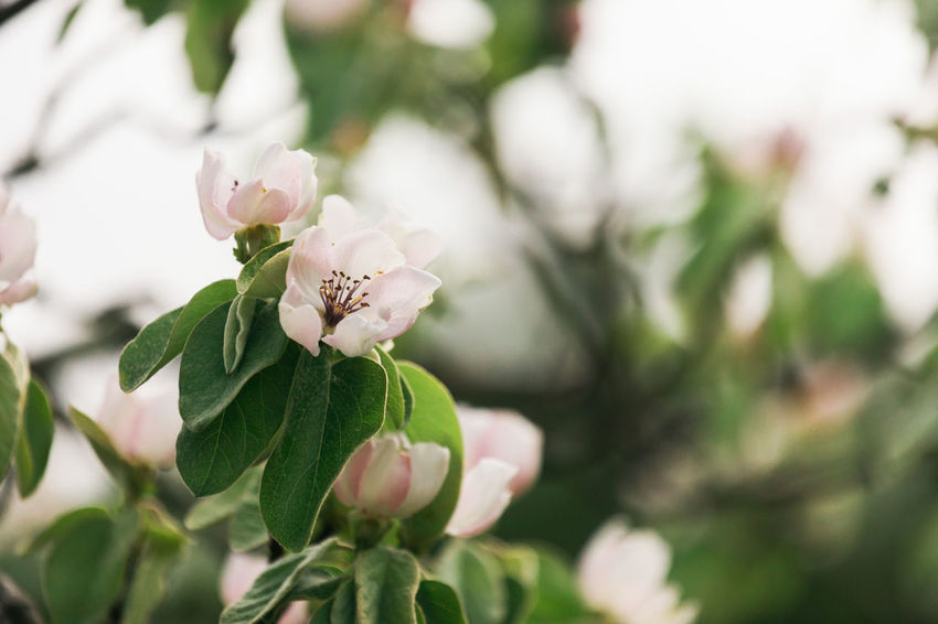 Beauty In Nature Close-up Day Flower Flower Head Flowering Plant Focus On Foreground Fragility Freshness Green Color Growth Leaf Nature No People Outdoors Petal Plant Plant Part Pollen Pollination Quince Selective Focus Vulnerability  White Color