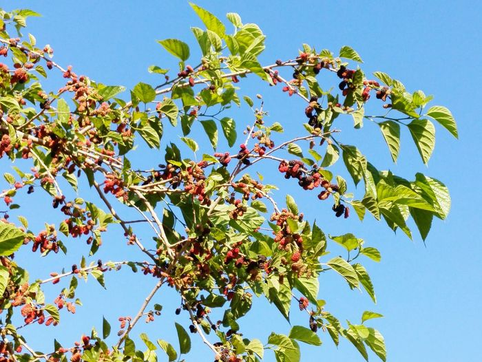 Springtime Flowers,Plants & Garden Nature Photography Madrone Mulberry Mulberry Tree Mulberry Fruit Madrona Tree