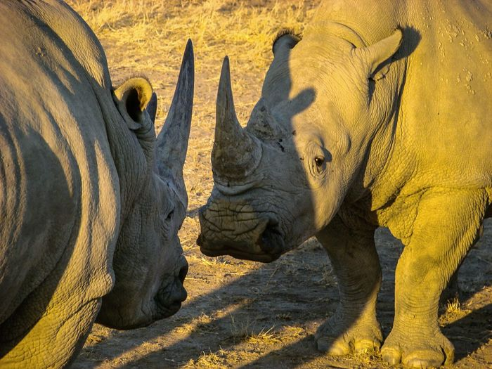 Rhinoceroses standing face to face on field