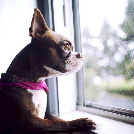 Dog Boston Terrier