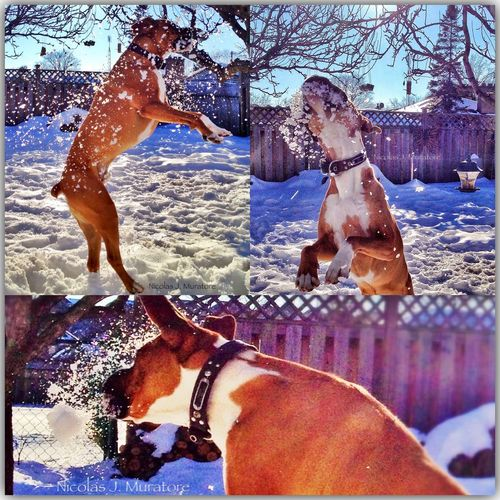 My brothers dog Dison! Dog Boxer Jump Spring Hangtime IPhoneography IPhone4s MyPhotography Mississauga Canada