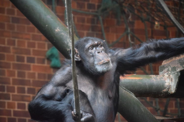 lost in thought Chester Zoo Chester Chimp House Rope Rope Swing Tree Brick Wall Zoo Close-up Chimpanzee Primate Monkey