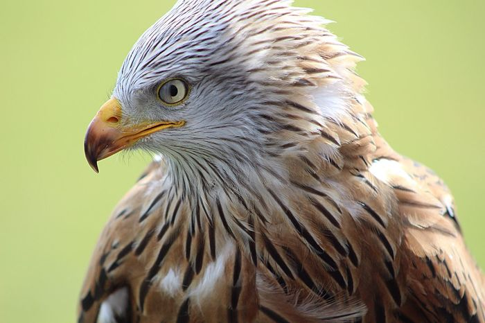 Red Kite Birds Of Prey Birds Stunning Beautiful Nature Stonham Barns Suffolk United Kingdom Intheblinkofaneye