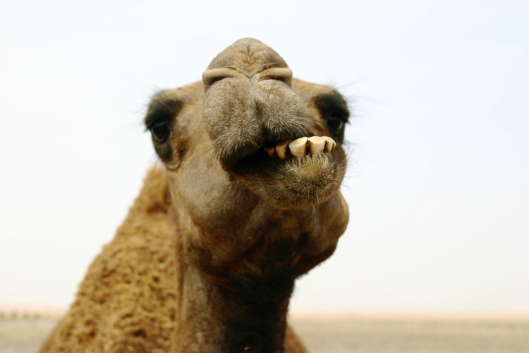 Desert Zoo Cammello Deserto Dromedary Loves Animals Marocco Wdcreativa