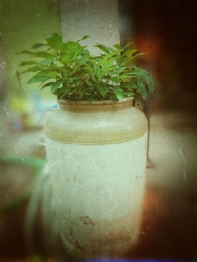 Tree No People Tranquility Day Nature Outdoors XperiaZ5 Sony Xperia Mobile Phone Photography Cannabis Plant Indoors  Potted Plant Green Color Growth Close-up Freshness Nature Mobiography Xperıa India