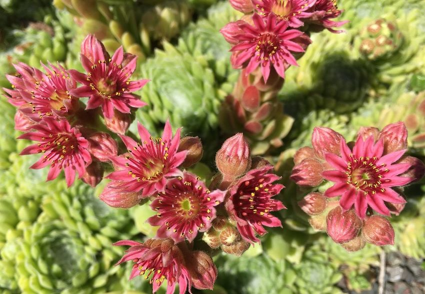 Flowering Chicks & Hens Open Edit Close Up Chicks And Hens Garden Photography Garden Nature Pink Flower Growth Nature Plant No People Outdoors Beauty In Nature Day Flower Head Fragility Freshness Blooming Close-up