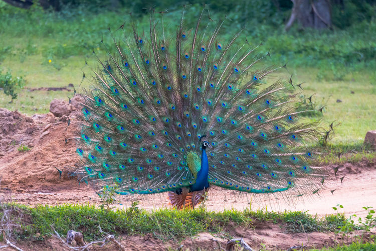View of peacock on field