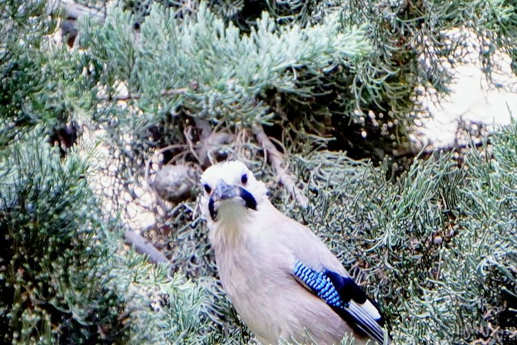 today this Jay first time seen in backyard Jaybird Bird Photography Jay Bird Bird