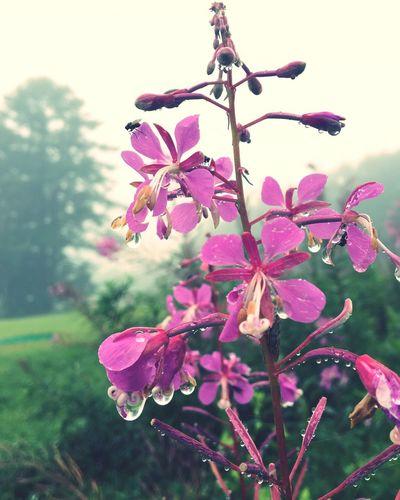 ヤナギランで雨宿り〜☂️ Flower Beauty In Nature Focus On Foreground Nature Rainy Days Raindrops EyeEm Nature Lover IPhone 6s Mountains And Sky From My Point Of View