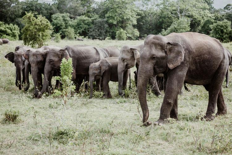 Sri Lanka African Elephant Animal Animal Family Animal Themes Animal Trunk Animal Wildlife Animals In The Wild Day Domestic Animals Elephant Field Grass Group Of Animals Herbivorous Herd Land Landscape Mammal Nature No People Outdoors Plant Tree Young Animal