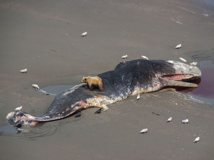 High angle view of grizzly bear on dead whale at beach