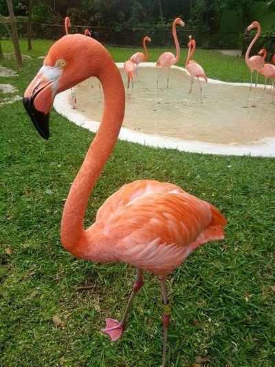 Flamingos in grass
