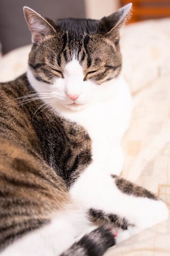 Domestic Cat Cat Feline Domestic Pets Domestic Animals Mammal Animal Animal Themes One Animal Vertebrate Relaxation Eyes Closed  Indoors  Furniture No People Resting Close-up Bed Sleeping Whisker Tabby