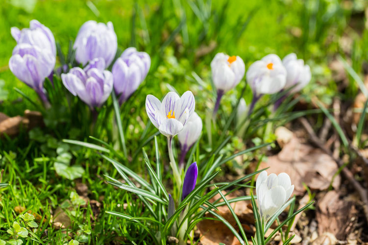 Spring flowers: Crocus collection Beauty In Nature Blooming Blossom Close-up Crocus Flower Flower Head Flowers,Plants & Garden Fragility Freshness Grass Growth Macro Macro Beauty Macro Photography Nature Nature Photography Naturelovers Outdoors Petal Plant Spring Springtime White Color