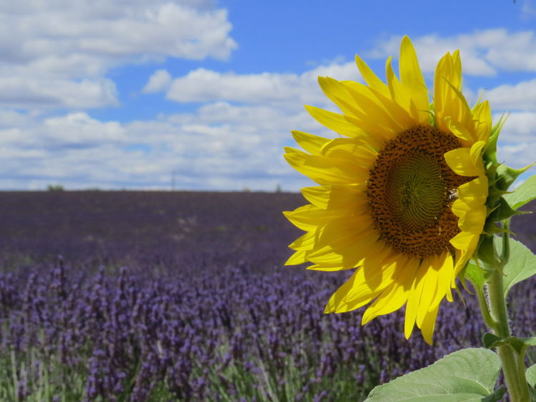 Provence Sunflower Beauty In Nature Blooming Close-up Day Field Flower Flower Head Fragility Freshness Growth Nature No People Outdoors Petal Plant Provenza Purple Sky Sunflower Sunflowers Tournesol Valensole Yellow
